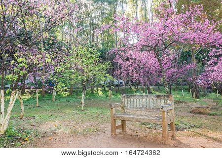 garden bench under the Pink sakura at king's garden Chiangmai Thailand.