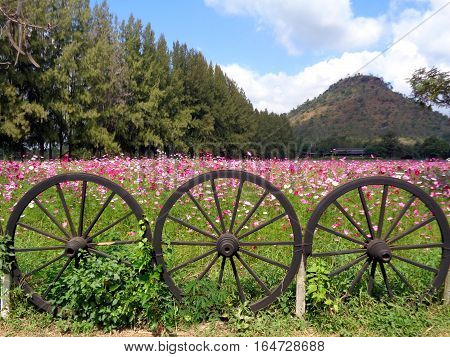 Beautiful Blooming Pink Cosmos Field at the Foothill behind the Unique Wooden Wheel Fence, Thailand