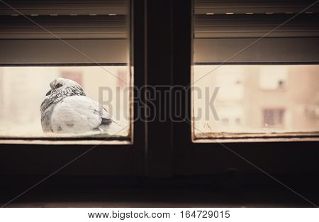 One Pigeon In Front Of Window