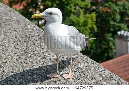 European herring gull ( Larus Argentatus) close up