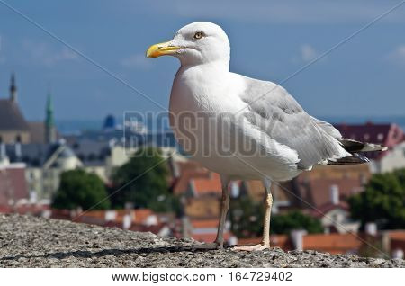 Larus argentatus or the European herring gull in the city