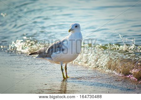 seagull near the coast. Seagull on the beach
