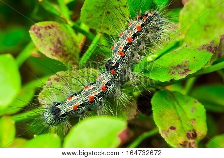 gypsy moth - haired caterpillar (Lymantria dispar)
