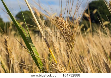 Wheat field on July before harvesting. Agriculture industry concept