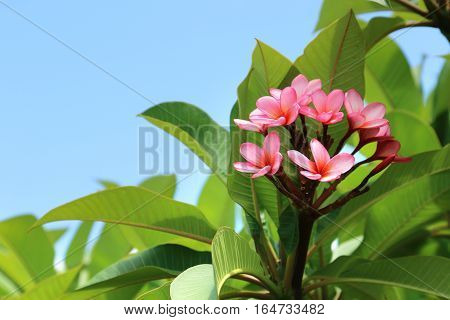 Exotic tropical frangipani or plumeria flowers in spring time