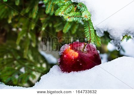 Snow pine and apple. Winter concept background