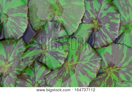Closeup lotus leaf  texture in the pond