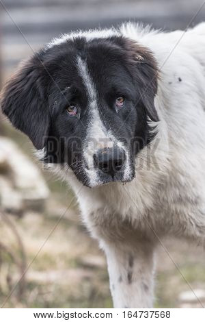 The Bucovina Shepherd Dog Is A Large And Strong Rustic Dog Which Was For Many Centuries The Traditio