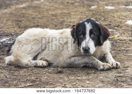 Shepherd dog of Bucovina sitting on the ground.