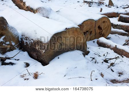 Pine stump, result of tree felling. Snow, winter, round timber.Total deforestation cut forest