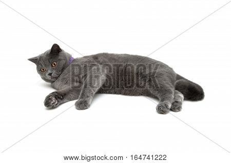 gray cat with purple collar isolated on white background. horizontal photo.