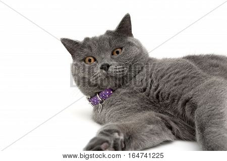 cat with purple collar on white background. horizontal photo.