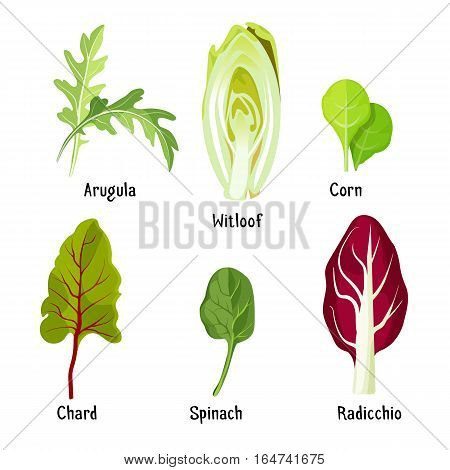 Collection of different herb plants. Arugula and witloof, green corn with chard, spinach near radicchio with inscriptions beneath on white. Vector illustrations of healthy ingredients for salads.