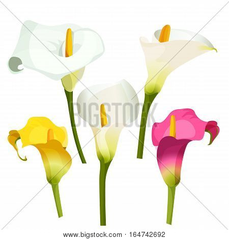 Collection of coloured arum lilies on white. Vector illustration of white, violet and yellow affectionate flowers on green thin stems. Zantedeschia, calla lily used as highly valued ornamental plants