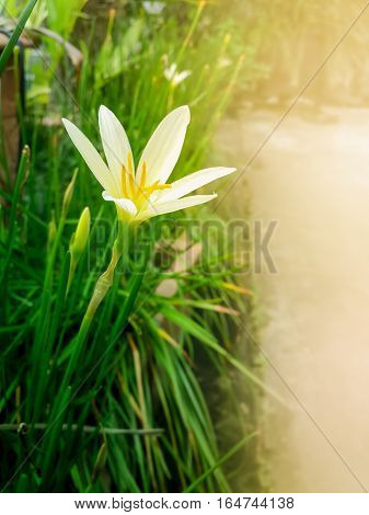 Rain Lily (Zephyranthes candida) has other common names includes autumn zephyrlily white windflower and Peruvian swamp lily widely cultivated as ornamental naturalized in many places