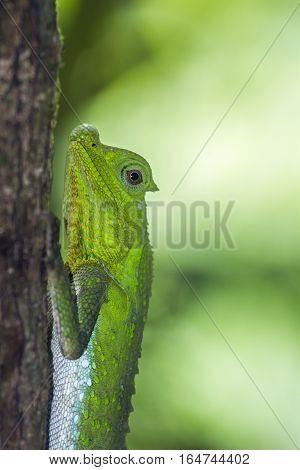 Hump snout lizard in Sinharaja nature reserve, Sri Lanka ; specie Lyriocephalus scutatus family of Agamidae