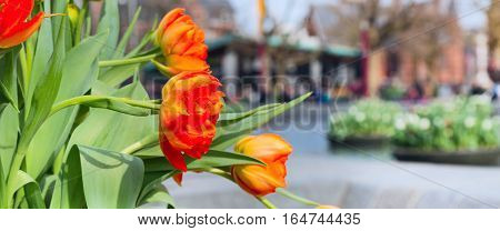 Holland symbol red and yellow tulips and defocused Amsterdam houses banner panoramic background