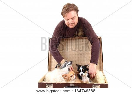 Man And Chihuahua Dogs In Suitcase