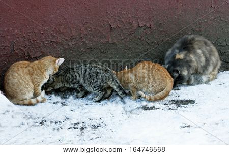 A few stray cats sitting near the wall of the old house. Cats eat food which is next sprinkled on the snow.