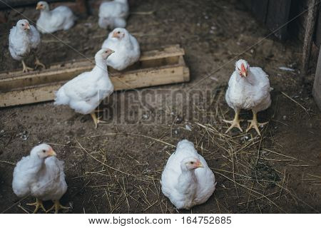 thick white broiler chickens on the farm