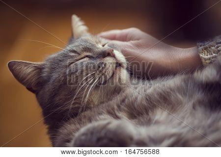 Furry tabby cat lying on its owner's lap enjoying being cuddled and purring. Selective focus poster
