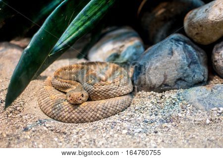 Rattlesnake at the zoo in attack position