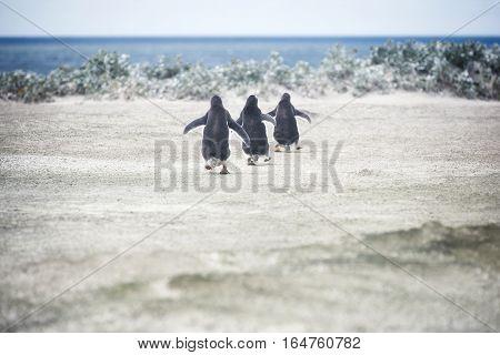 Gentoo penguins going for a swim at Volunteer Point Falkland Islands