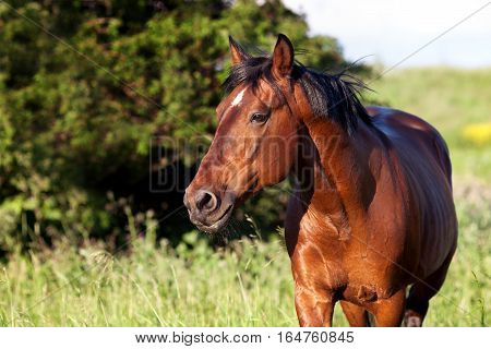 Bay horse on a green background looking into the distance