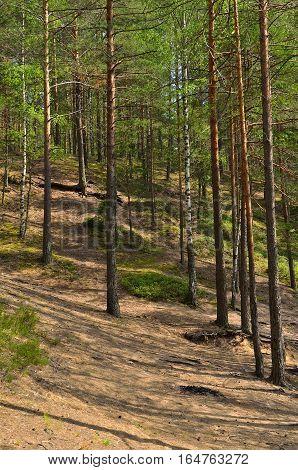 Pine forest near Saint Petersburg Russia, summer landscape