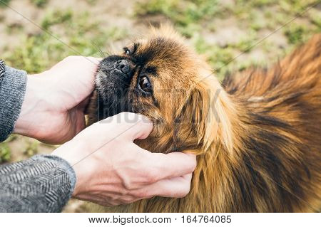 Man's hands holding a cute pekingese dog's muzzle poster