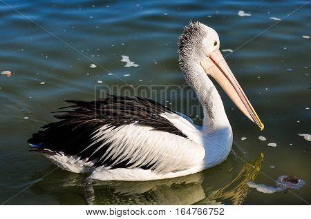 Pelican Swimming In Tin Can Bay, Australia