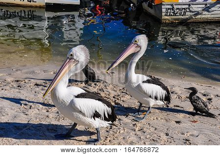 Pelicans On The Shore In Tin Can Bay, Australia