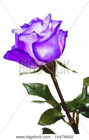 violet rose on white background