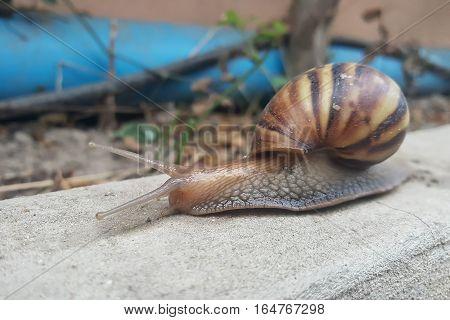 closeup brown snail moving forward slowly .