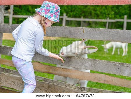 Little girl feeds young white goat at goat farm. Cute little kid feeding a goat at farm. Little girl with goat