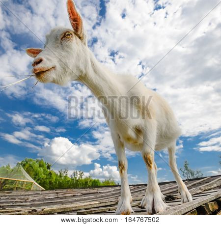 Funny goat standing on barn roof on country  farm. Cute and funny white young goat on a background of blue sky. Goat farm