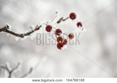 Red berries of Viburnum on a branch in the winter