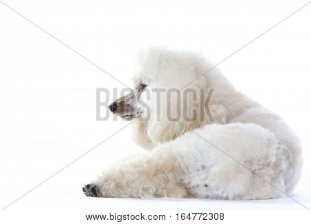 White poodle dog lying down in studio