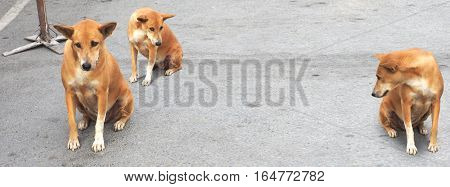 Street Dog (homeless) brown color female in Thailand stting on the road Photography copy 3 acting has center free space for your word.