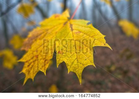 Leaves in autumnal colors at foggy morning in a forest, Serbia