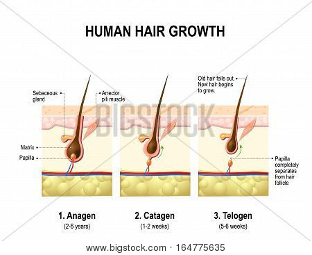 Hair growth. anagen is the growth phase; catagen is the regressing phase; and telogen the resting or quiescent phase. Vector diagram