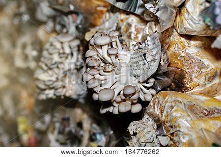 Cultivation Of Black Bhutan Oyster Mushrooms From Spawn In Farm.