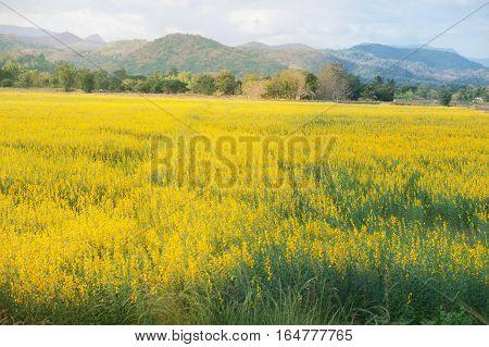 Sunn hemp or Indian hemp in a field.