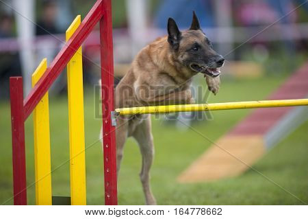 Belgian Shepherd on agility course trying to jump over yellow hurdle as faster as he can. He is looking very attentive and concentrated