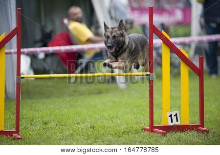 German Shepherd on agility competition, over the bar jump. Proud dog jumping over obstacle.