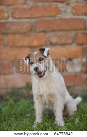 Portrait of Parson Russell terrier. He is looking with cute, smiling face trying to charm a photographer.
