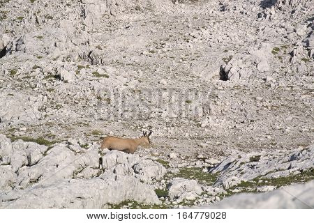 The chamois, Rupicapra in the mountains. a goat-antelope genus native to mountains in Europe, including the European Alps, the Pyrenees, the Carpathians, the Tatra Mountains, the Balkans, parts of Turkey, the Caucasus, and the Apennines.
