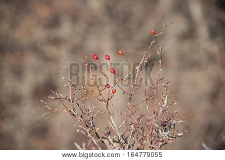 Briar, wild rose hip shrub in nature. Dog rose bush with ripe berries.