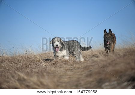 Bearded collie and Belgian Shepherd dog on an autumn walk. They are walking on a tan meadow. It is beautiful weather with blue sky.