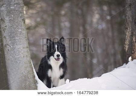 Smiling purebred dog border collie in attention pose on snow. He is ready for winter action and for play with snowball